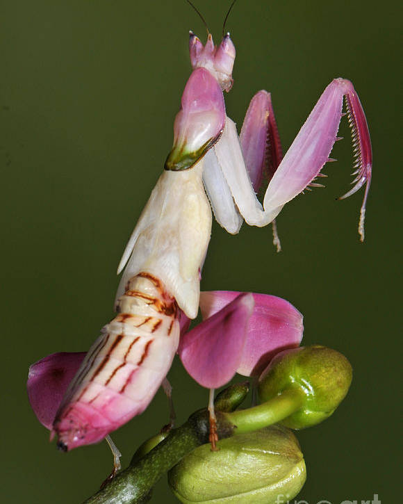 Where Can I Buy An Orchid Mantis : where, orchid, mantis, Orchid, Mantis, Poster, Francesco, Tomasinelli