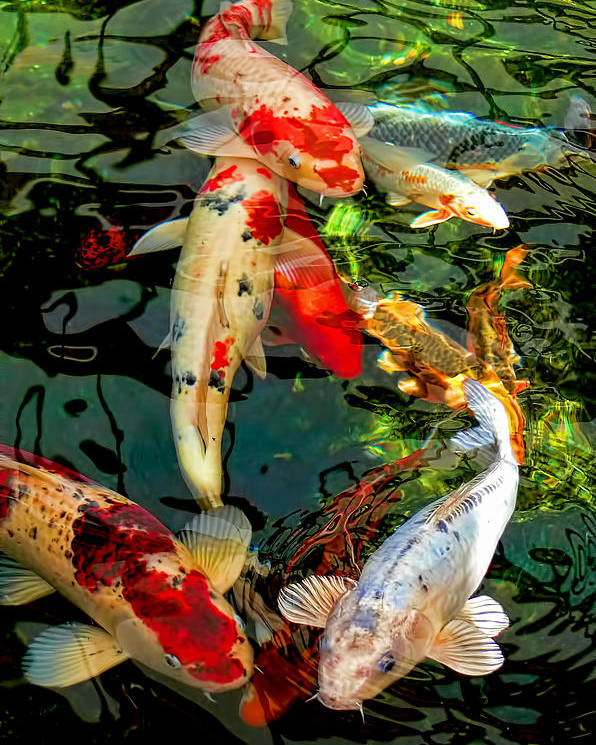 Koi Fish Pics : Colorful, Japanese, Poster, Jennie, Marie, Schell