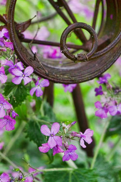 Purple Lunaria by Sharon Popek