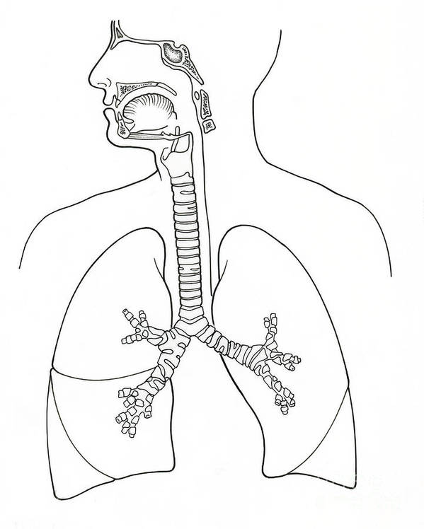Illustration Of Respiratory System Art Print by Science Source