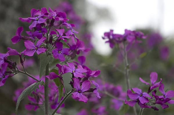 Purple Lunaria by Sharon Popek