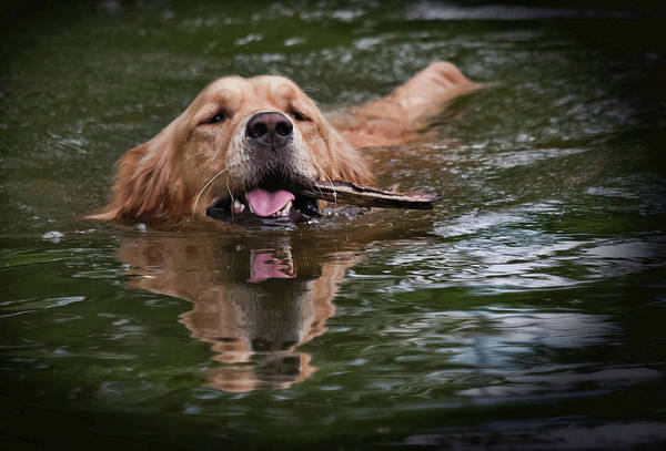 Golden Retriever fetching a stick from the water