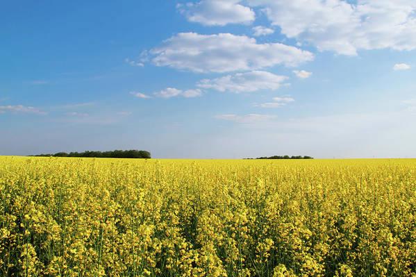 flowering buckwheat yellow wildflowers