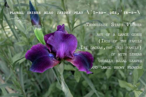 Purple Iris by definition