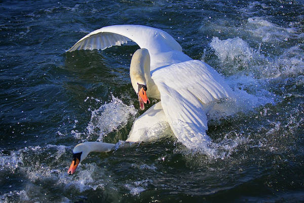 Swans Art Print featuring the photograph Nuptial Dance 2 by Tatiana Travelways