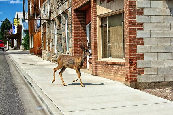 Deer Art Print featuring the photograph Deer Running Downtown Challis, Idaho by Tatiana Travelways