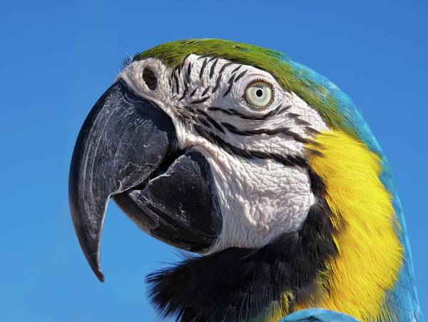 Close-up Art Print featuring the photograph Eye Contact - Colorful Parrot's Head by Tatiana Travelways