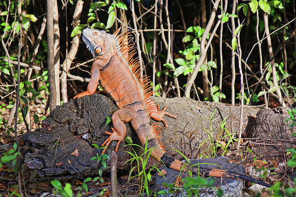 Iguana Art Print featuring the photograph Giant Iguana by Tatiana Travelways
