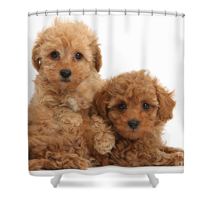 two cute red toy poodle puppies shower curtain