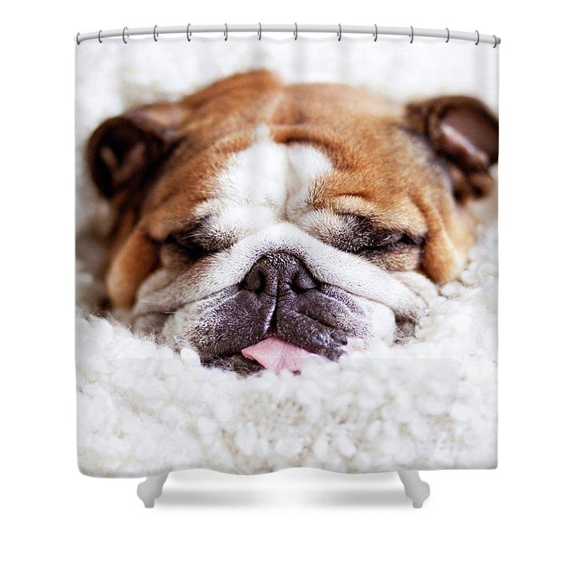 english bulldog sleeping in fluffy shower curtain