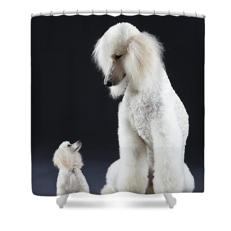 small and large poodle shower curtain