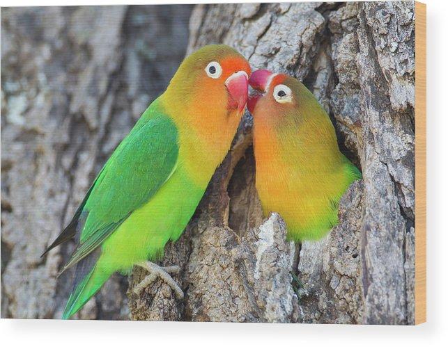 two fischer s lovebirds