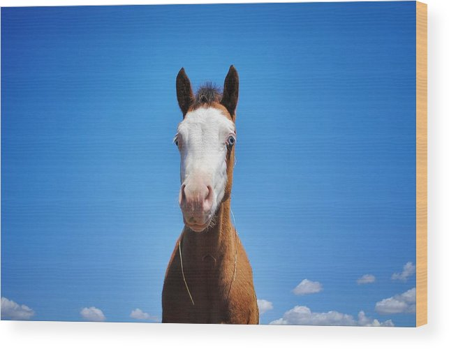 Blue Eyed Colt Wood Print featuring the photograph Blue Eyed Colt by Maria Jansson