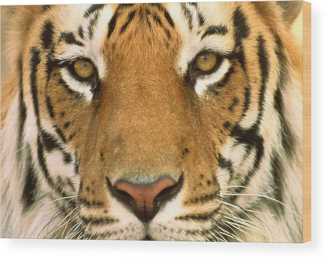 male bengal tigers face