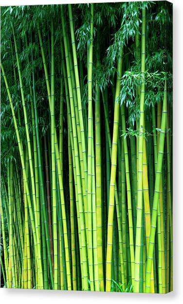 bamboo trees photograph by