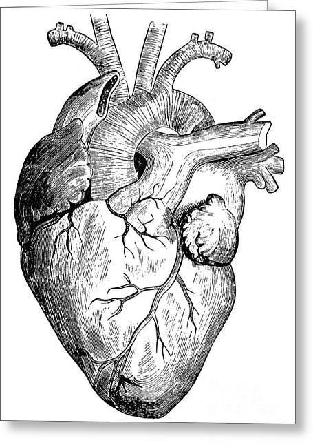 Human Heart Photograph by Granger