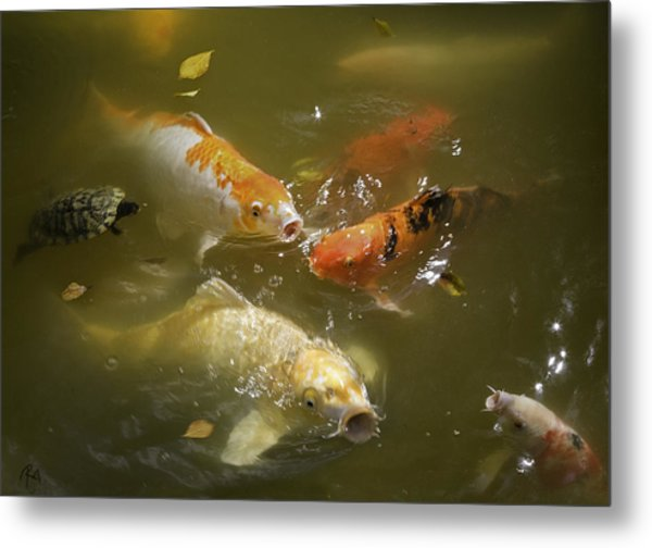 feeding koi by ron
