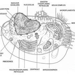 Endoplasmic Reticulum Animal Cell Diagram Tree Worksheets Grade 4 Smooth Art Fine America Wall Photograph By Science Source