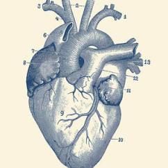Anatomical Heart Diagram Club Car Precedent 12 Volt Battery Wiring Drawings Fine Art America Drawing Human Vintage Anatomy By Prints