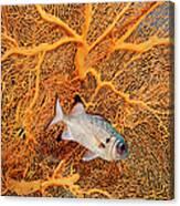 big eye squirrel fish