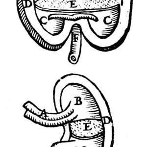 Vesalius: Brain, 1543 Photograph by Granger