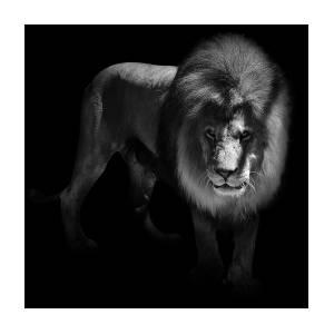 portrait of lion in