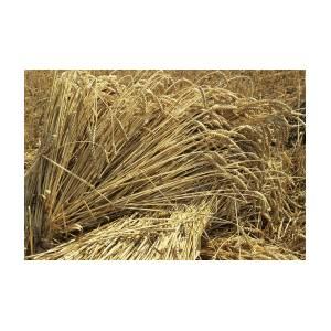 wheat sheaves by david