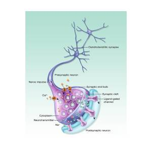 detailed neuron diagram 5 layers of epidermis illustration photograph by gwen shockey