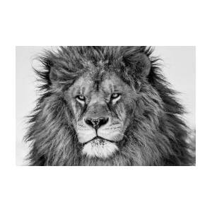 fierce lion by mike