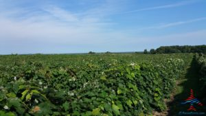 michigan-grapes-for-wine-renespoints-blog-puremichigan-joy-1