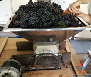michigan-grapes-for-wine-renespoints-blog-puremichigan-joy-10