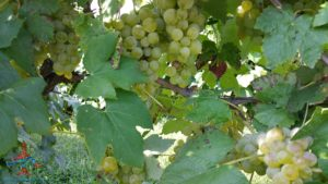 michigan-grapes-for-wine-renespoints-blog-puremichigan-joy-5