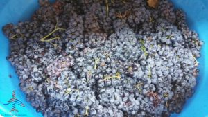 michigan-grapes-for-wine-renespoints-blog-puremichigan-joy-9