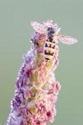 Driehoekzweefvlieg