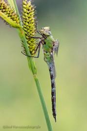 Grote keizerlibel