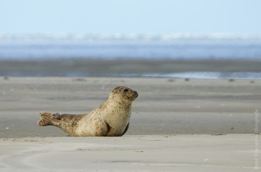 Zeehond op de zandplaat