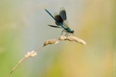 Weidebeekjuffer met open vleugels