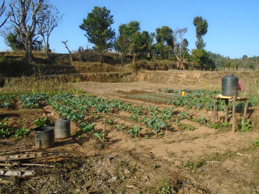 Hum Kamari's crops in a field in Magare.