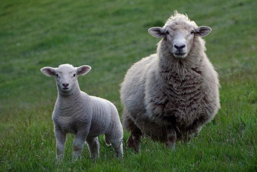 sheep-RIK