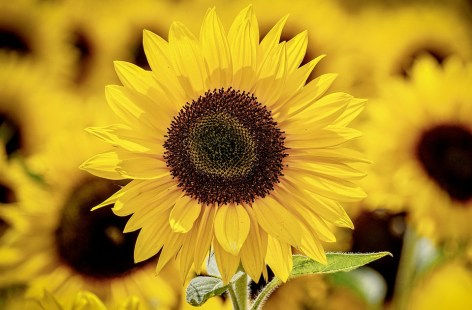 Sunflower, Gift, Friendship, Renew Inspiration