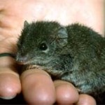 An agile antechinus. Photo: Geoff Shaw