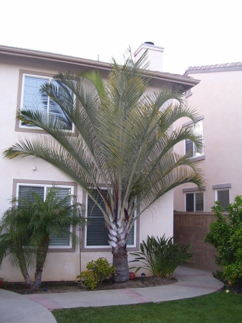Palm Trees In The Front Yard 26