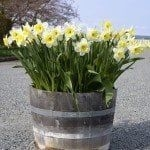 Tips For Growing Spring Flower You Can Try 15
