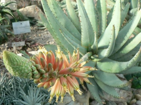 Best Planting Aloe Vera Ideas In Your Terrace 06