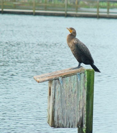 A cormorant in Barefoot Landings' lake