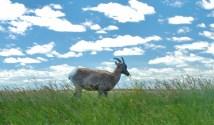 01-BH Sheep