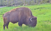We saw bison throughout the park. A good telephoto lens lets me get close without getting too close.