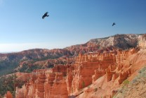 Ravens sail on rising wind currents forced upward by the canyon walls