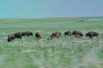 Part of a here of 80-100 Bison grazing along the highway.