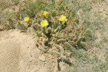 Cactus Flowers scattered across the high plain.